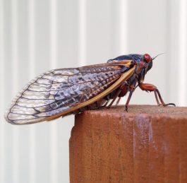 Audio: Cookin' Cicadas